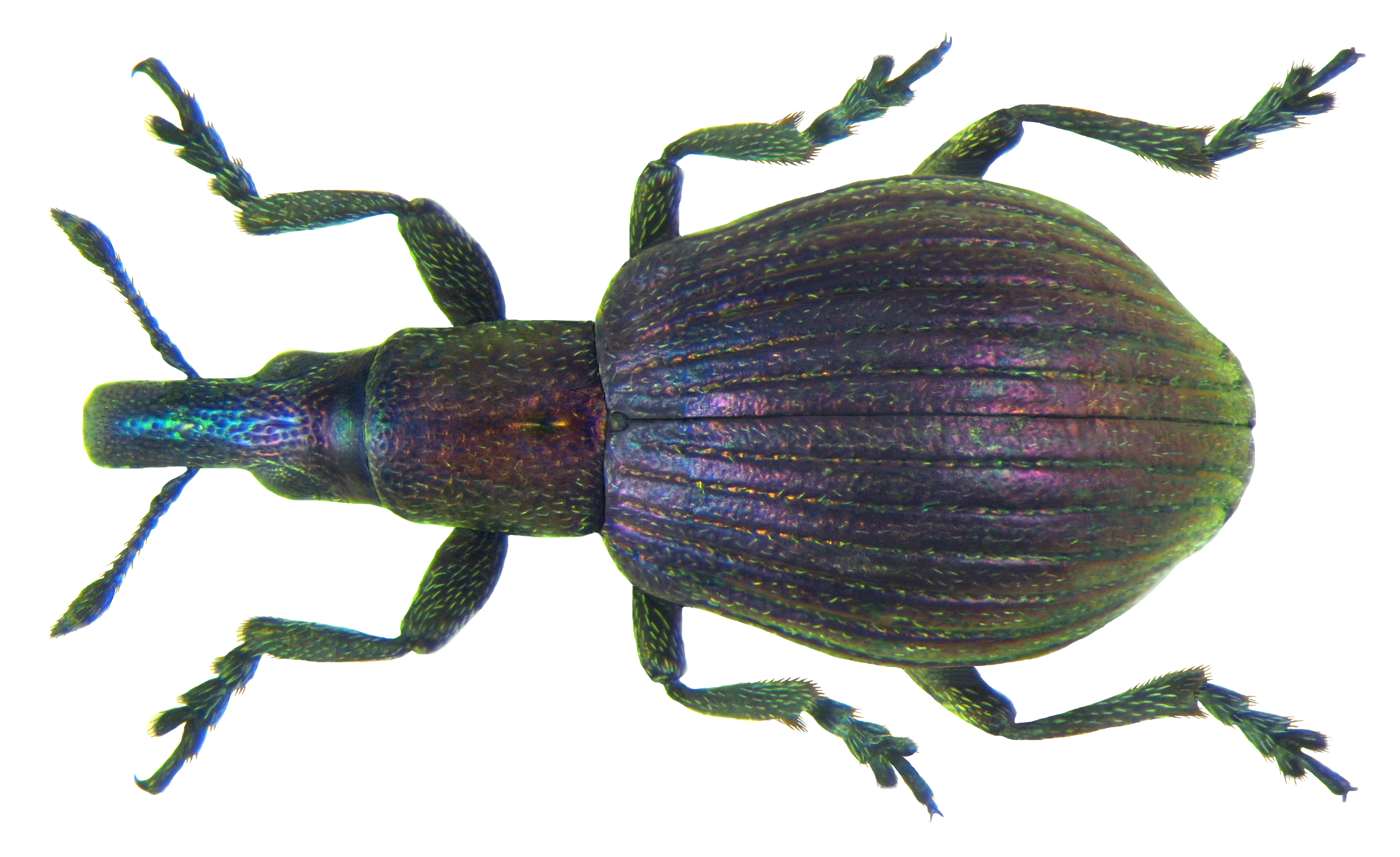 File:Pseudaplemonus limonii (Kirby, 1808) (7446704030).png
