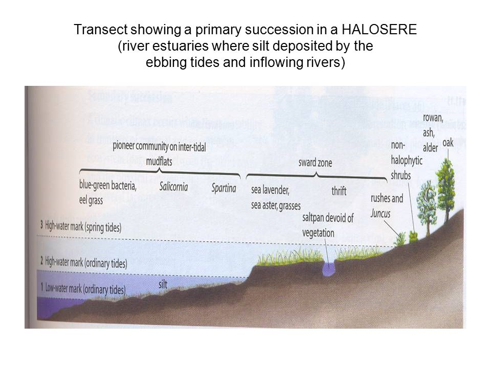 17 Transect showing a primary succession in a HALOSERE (river estuaries  where silt deposited by the ebbing tides and inflowing rivers)