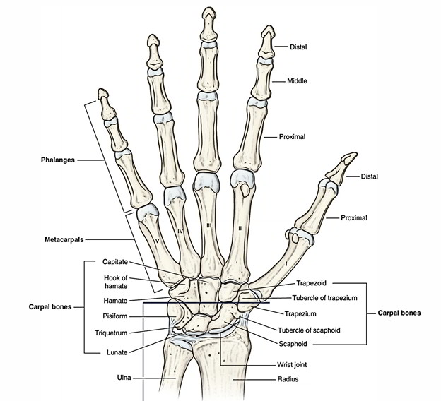 Laterally, the hamate bone articulates with the capitate bone.