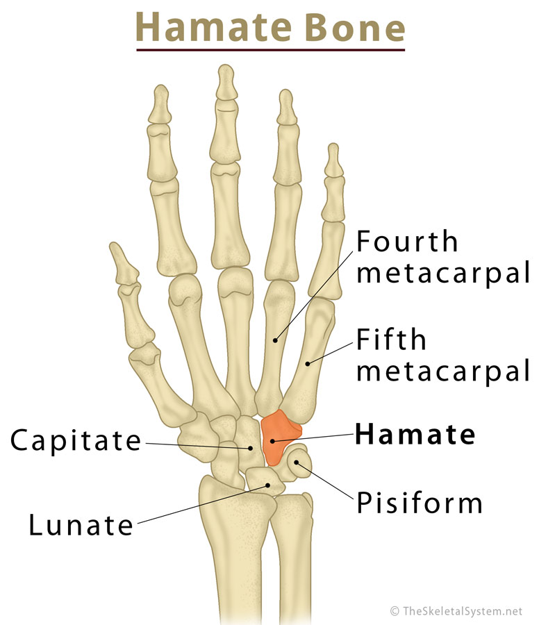 Where is the Hamate Bone Located