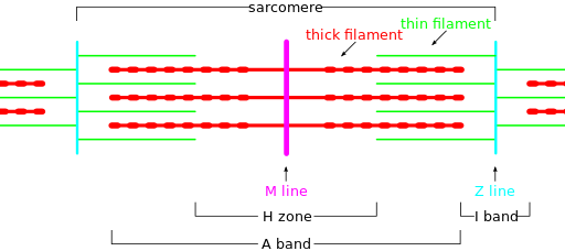 Sarcomere diagram