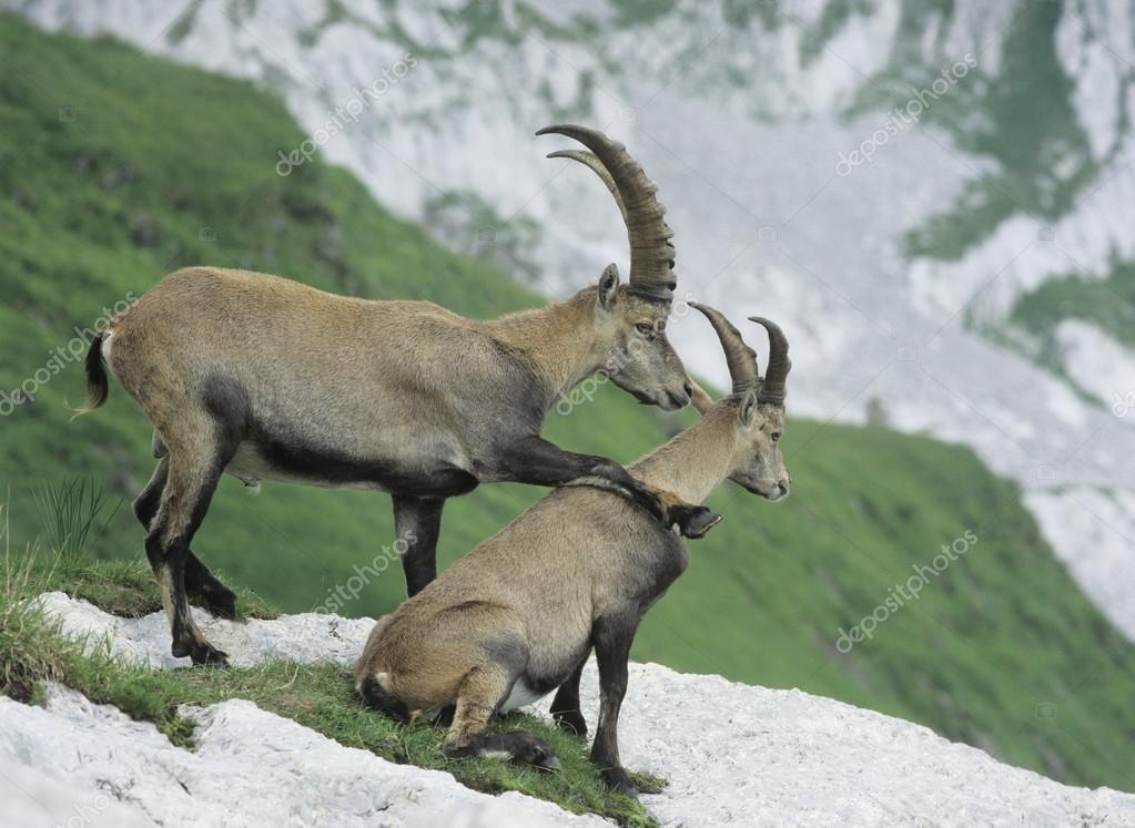 Íbices alpinos — Foto de Stock