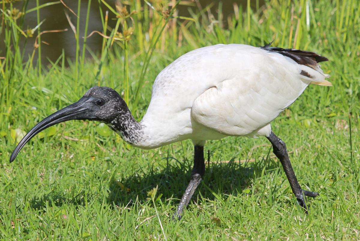 Image © Dick; White ibis. Juvenile begging. Cairns, Queensland,  December 2016.
