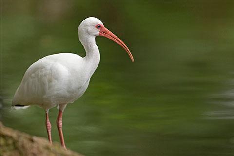 Ibis by lake