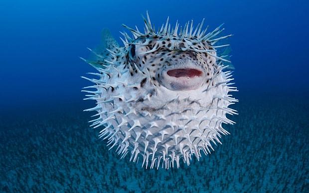 ichthyosarcotoxin