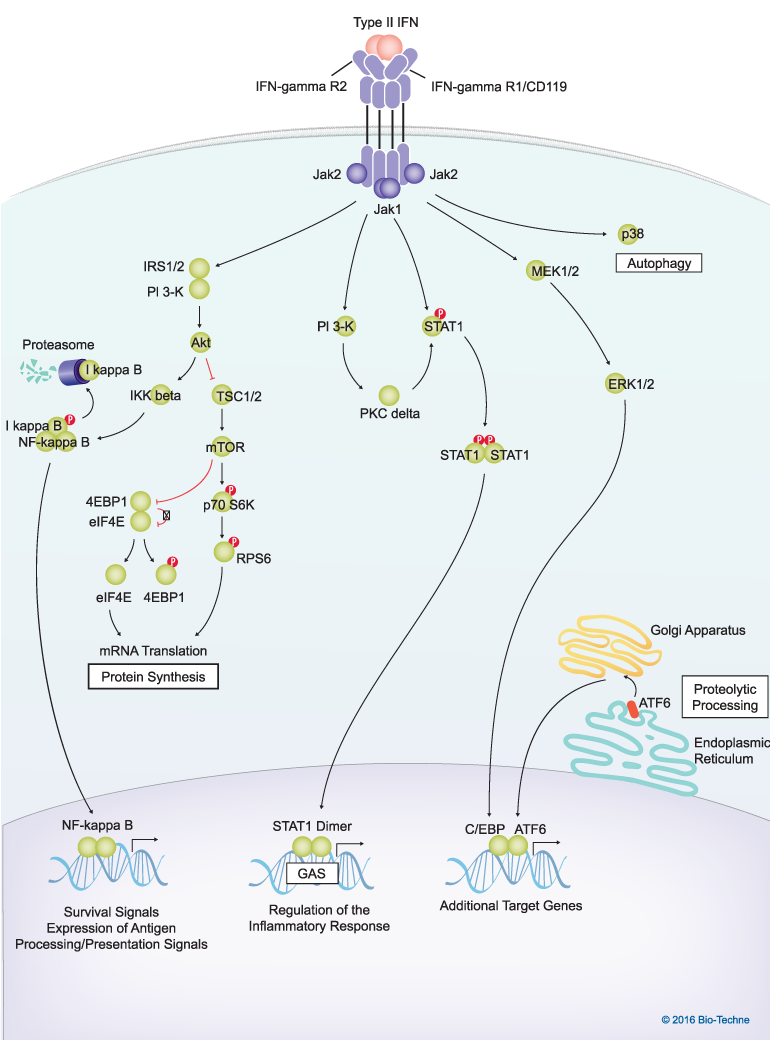 View Type II Interferon Signaling Pathways Image