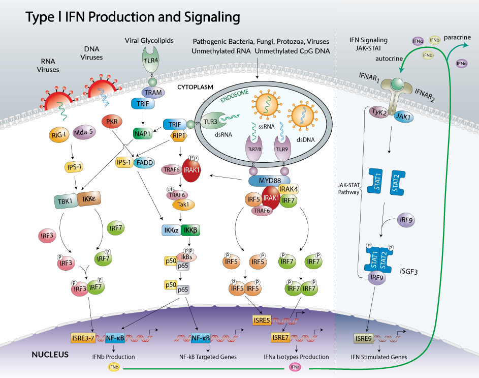 Type I IFN production and signaling pathway by InvivoGen