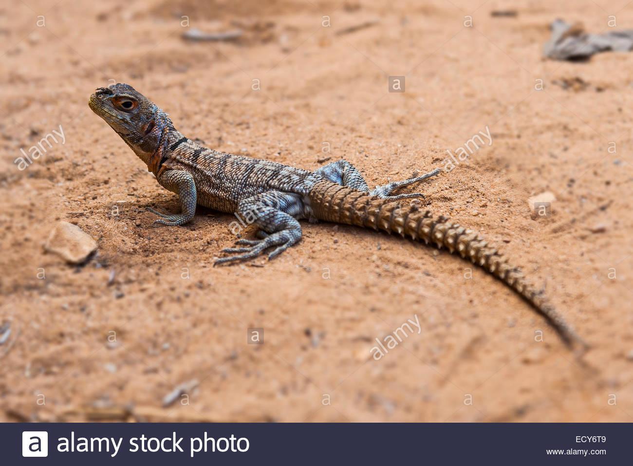 Iguanid Lizard, Collared Iguana, or Madagascan Collared Iguana (Opulurus  cuvieri), Kirindy, Madagascar