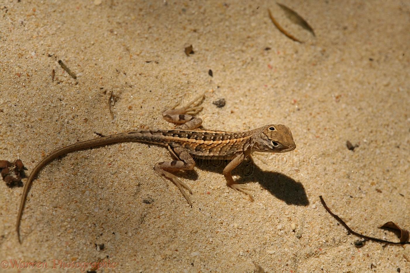 Three-eyed Iguanid Lizard (Chalaradon madargascariensis)