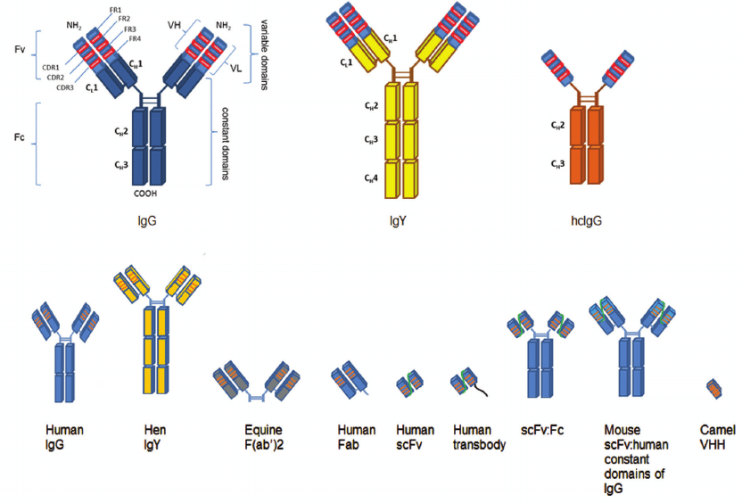 Schematic structure of full-length conventional IgG, chicken IgY, heavy  chain-only