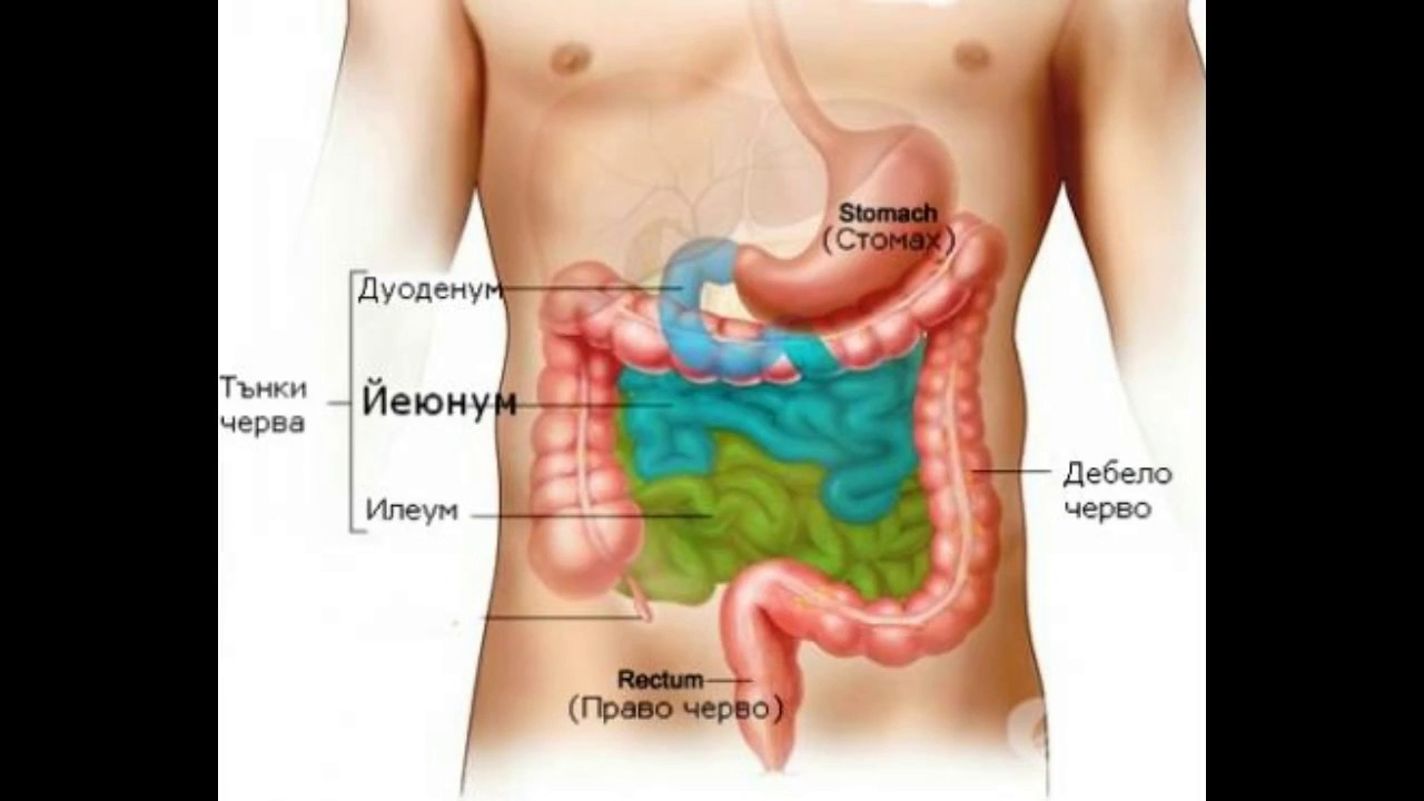 What is the Ileum