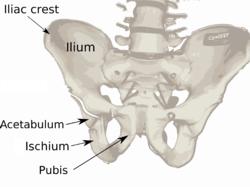 Pelvis diagram.png