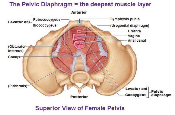 iliococcygeal muscle