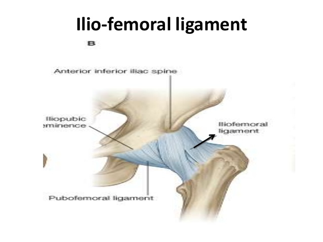 Ilio-femoral ligament