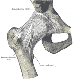 (Iliofemoral ligament visible at center.)