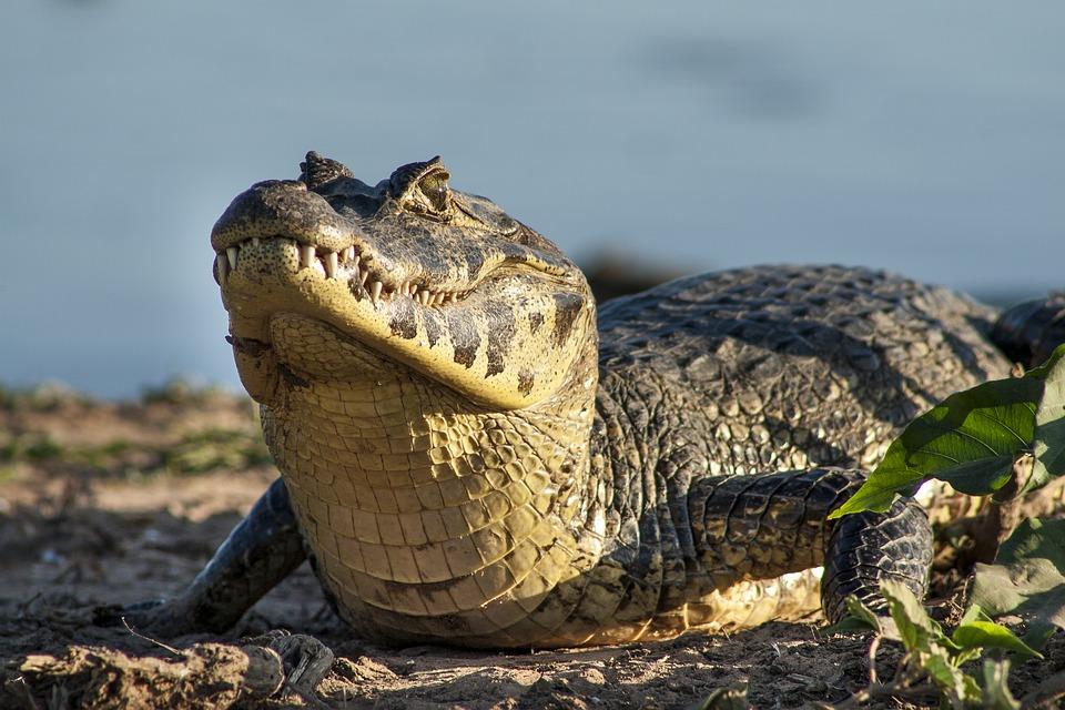 jacaré jacare pantanal viagem