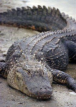 Jacaré-americano (Alligator mississipiensis)