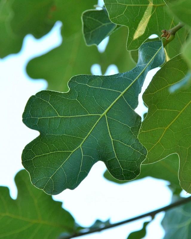 jack oak