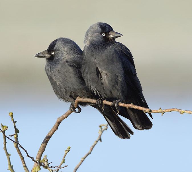 Jackdaw (Corvus monedula) pair perched on a bush bordering flooded  marshland, Gloucestershire