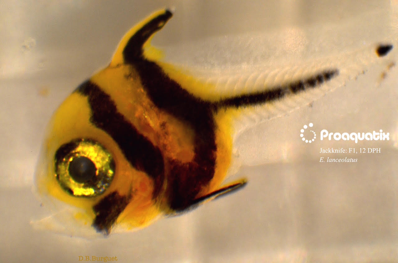 Captive-bred Jackknife Fish, Equetus lanceolatus, introduced in quantity by  Proaquatix.