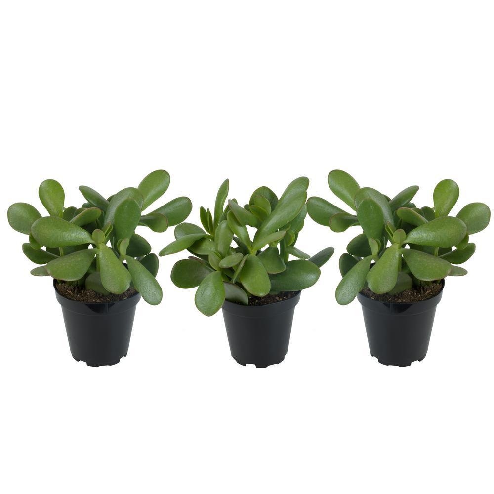 Altman Plants 3.5 in. Jade Plant (3-Pack)