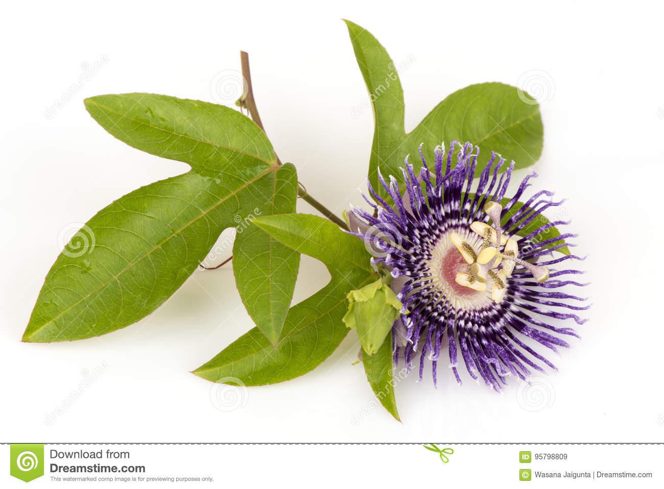 Flor de la pasión, alato-caerulea Lindl de Jamaica Honeysuckle Passiflora x  Flores en