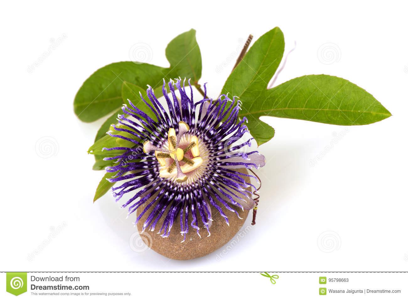 jamaica honeysuckle