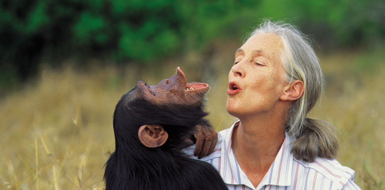Goodall se ha destacado por descubrir que los chimpancés pueden transmitir  sus conocimientos adquiridos a su descendencia.