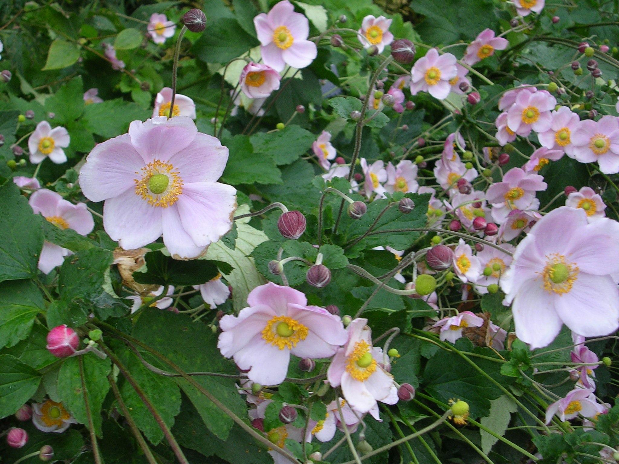 Anemone spp. anemone