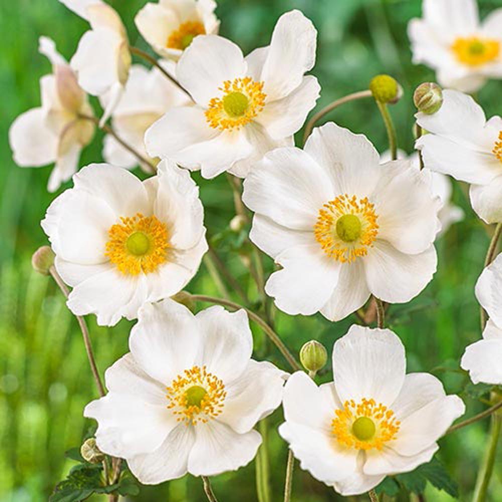 Spring Hill Nurseries Honorine Jobert Japanese Anemone, Live Bareroot  Plant, White Flowering Perennial (