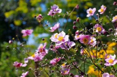 Japanese Anemone Care: Tips For Growing A Japanese Anemone Plant