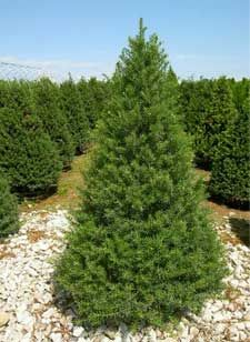 Upright Japanese Yew - Driveway entrance, left side behind planter area  Evergreen