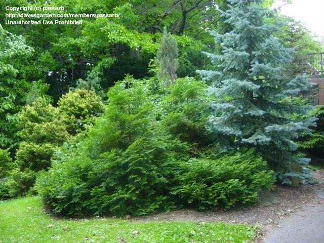 Thujopsis dolobrata, foreground Highland Park Rochester NY