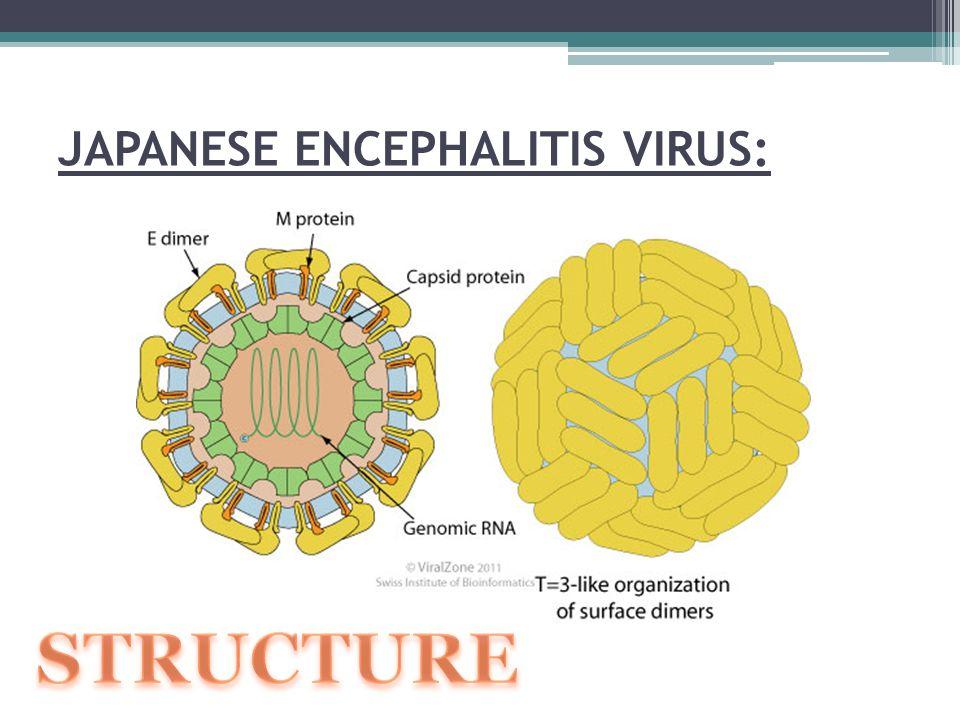 11 JAPANESE ENCEPHALITIS VIRUS: