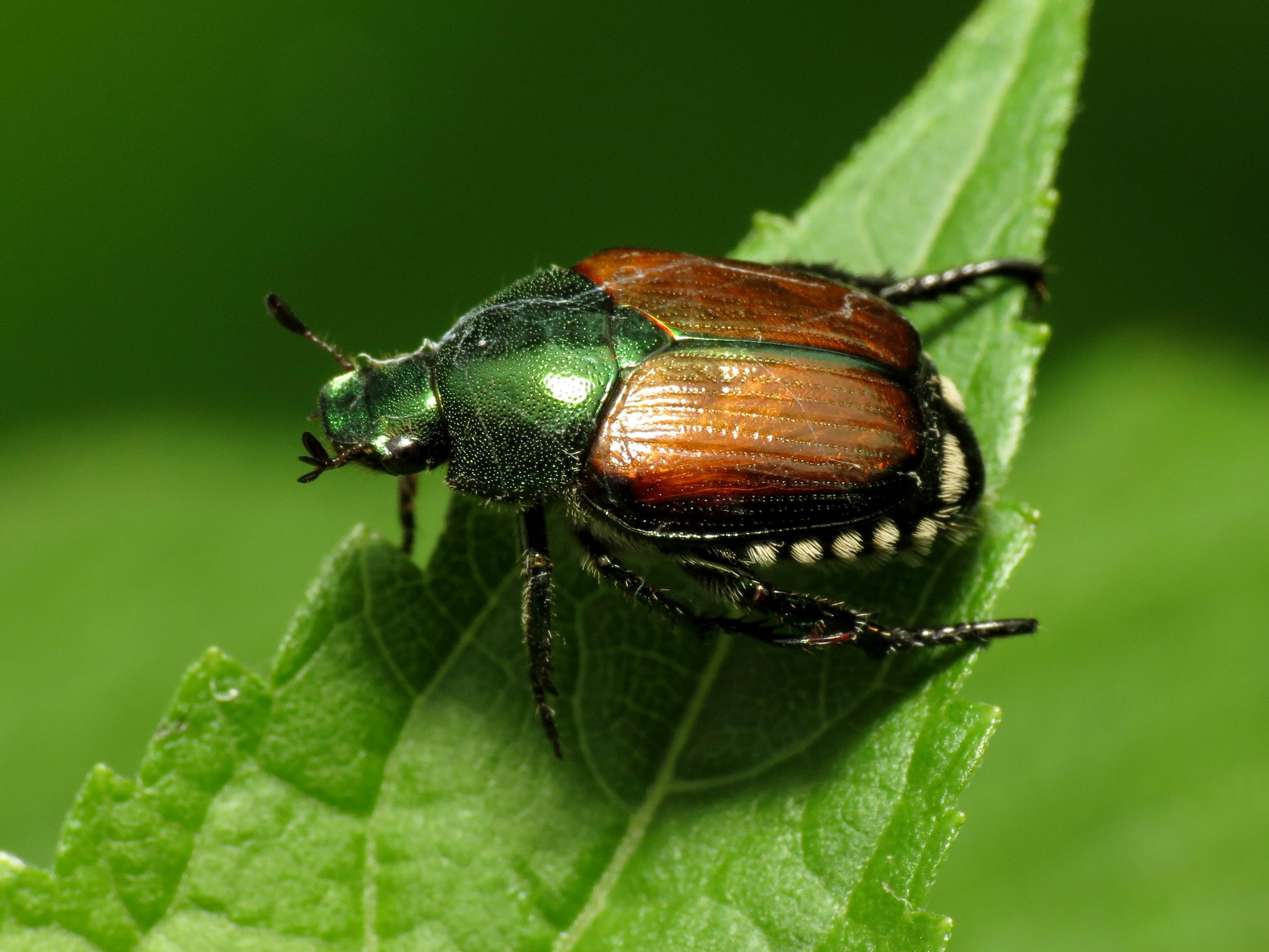 close up of a Japanese Beatle on a green leaf