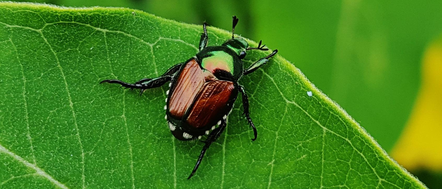 Japanese beetle. View Slideshow 1 of 3