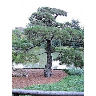 Japanese Black Pine Tree Seeds
