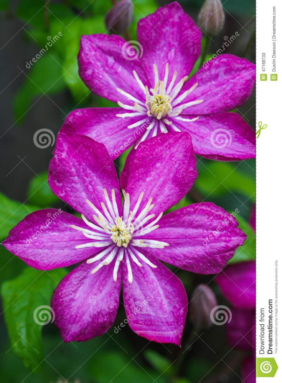 Japanese Clematis Flower