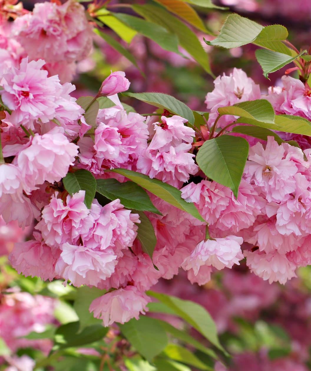 Kwanzan Japanese Flowering Cherry Additional Product Shot 194