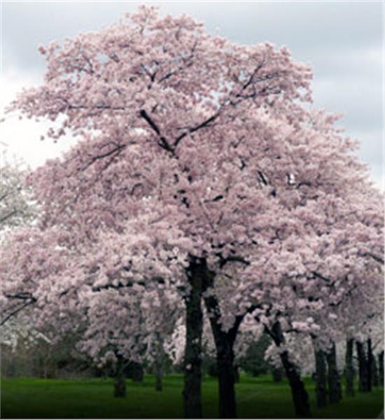 Japanese Flowering Cherry - Prunus x yedoensis. zoom Enlarge