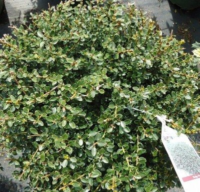 Japanese Holly Care – Tips On Growing Japanese Holly Shrubs