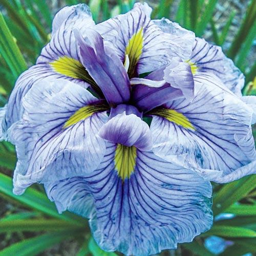 Enlarge icon Japanese Iris Greywoods Catrina