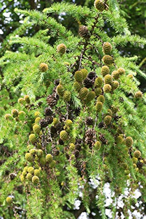 1 Japanese Larch Tree, 2ft Larix Plants, Different Colours Every Season  3fatpigs®