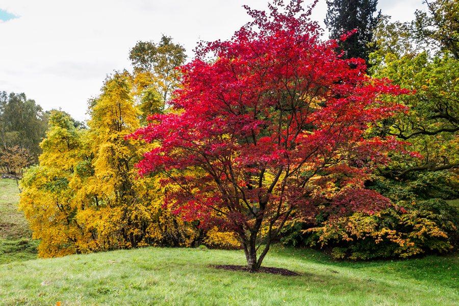 Japanese Maple Tree, Acer Palmatum Dreamstime ,