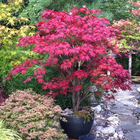 Bloodgood Japanese Maple Planting Diretions