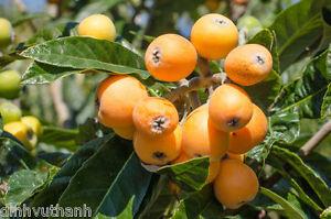 Image is loading Japanese-Plum-Loquat-Fruit-Tree-Plant-10-Seeds
