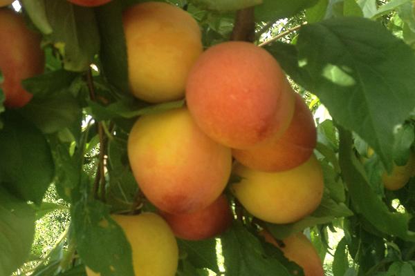 $29.95; Peach Japanese Plum
