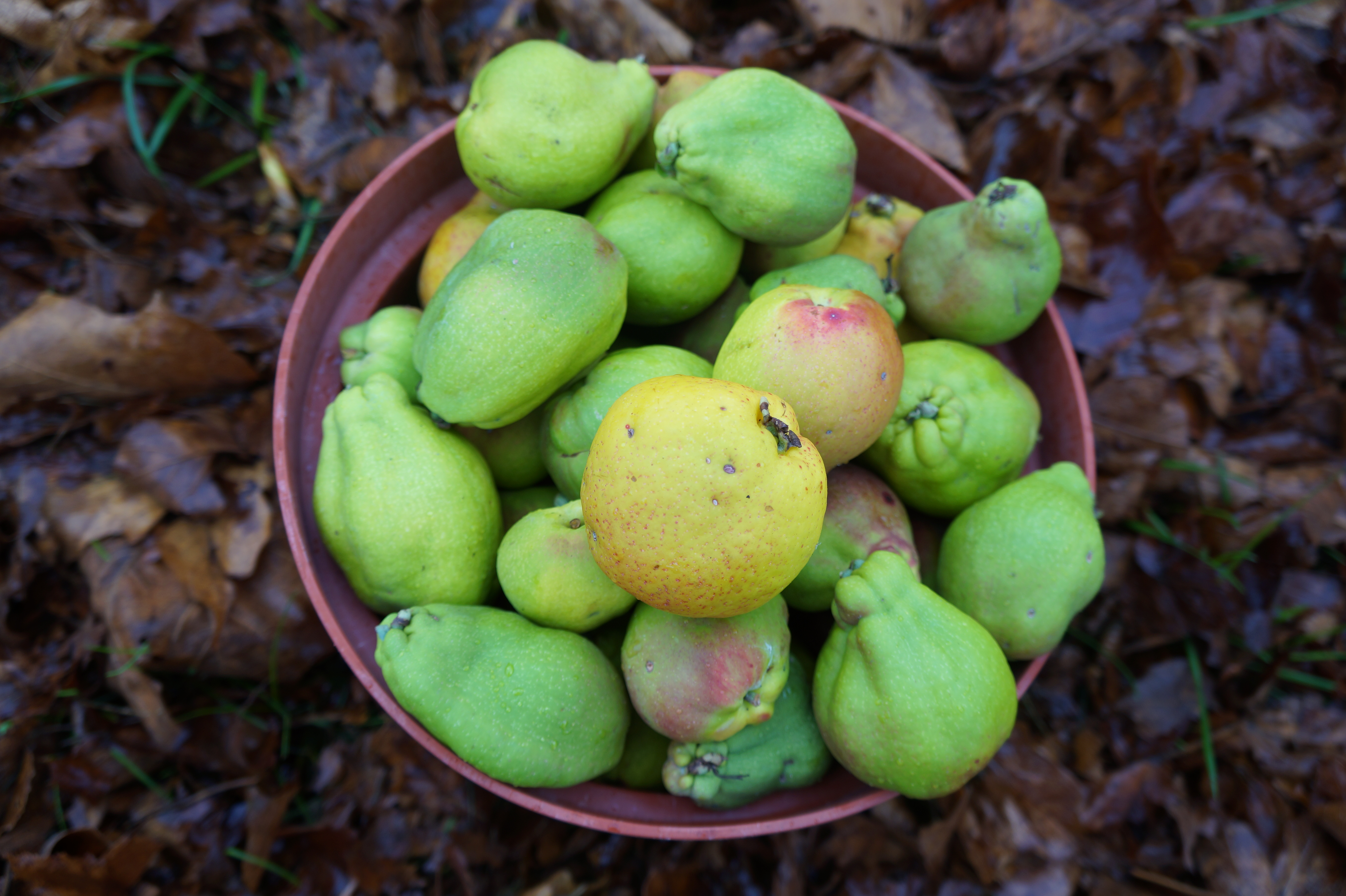 Japanese quinces of varying colours, sizes and shapes, all from one plant