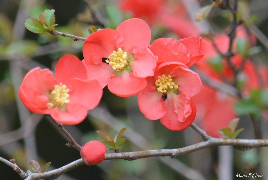 Japanese Quince Photograph - Blossoming Japanese Quince by Maria Urso