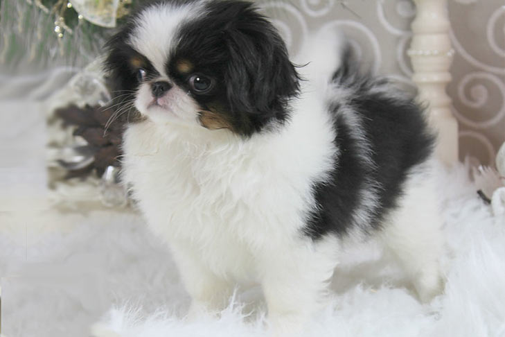 Young Japanese Chin standing in three-quarter view